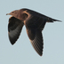 Juvenile (dark morph). Note: pale bill with dark tip (juvenile), broad white flash on underwing, and 4-5 shafts on upper primaries.